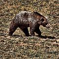 Brown Bears by Angel Jesus De la Fuente