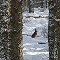 Brown Hare - Snow Wood by Phil Banks