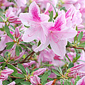 Buds and Blossoms - Pink Azaleas