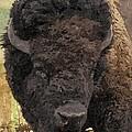 Buffalo Head by Sara  Raber