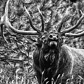 Bull Elk Bugling Black And White by Ron White