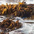 Bull Kelp Durvillaea Antarctica Blades In Surf by Stephan Pietzko