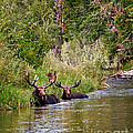 Bull Moose Summertime Spa by Timothy Flanigan