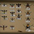 Bumblebees - Wild Bees - Wesps - Yellow Jackets - Ichneumon Flies - Apiformes Vespulas Hymenopteras  by Urft Valley Art
