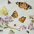 Butterflies by Jan Van Kessel