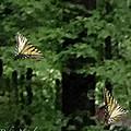 Butterfly Waltz by Debra     Vatalaro
