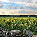 Buttonwood Farm Sunflowers by Andrea Galiffi