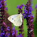 Cabbage White Butterfly by Christina Rollo
