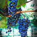 Cabernet Sauvignon Grapes Print by Robert Bales
