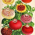 Calceolaria From A Vintage Belgian Book Of Flora. by Unknown