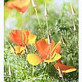 California Poppies by Artist and Photographer Laura Wrede