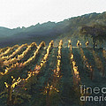 California Vineyard Series Wine Country by Artist and Photographer Laura Wrede