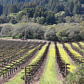 California Vineyards In Late Winter Just Before The Bloom 5d22051 by Wingsdomain Art and Photography