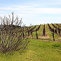 California Vineyards In Late Winter Just Before The Bloom 5d22121 by Wingsdomain Art and Photography