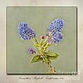Californian Lilac Print by John Edwards