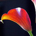 Calla Colors And Curves by Rona Black