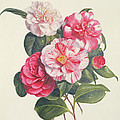 Camelias Print by Augusta Innes Withers