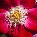 Camellia by Carolyn Marshall