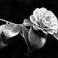 Camellia Flower In Black And White by Jennie Marie Schell