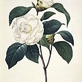Camellia Japonica, 19th Century by Science Photo Library