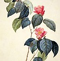 Camellia Japonica by Pierre Joseph Redoute