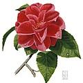 Camellia by Richard Harpum