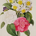 Camellias Narcissus And Pansies by Pierre Joseph Redoute