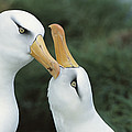 Campbell Albatrosses Courting Campbell by Tui De Roy