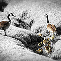 Canada geese family Print by Elena Elisseeva