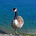 Canada Goose On One Leg by Susan Wiedmann