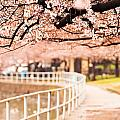Canopy Of Cherry Blossoms Over A Walking Trail by Susan  Schmitz