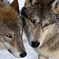 Captive Close Up Wolves Interacting by Steven Kazlowski