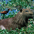 Capybara And Jacana by Francois Gohier