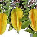 Carambolas Starfruit Three Up by Olivia Novak
