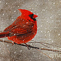 Cardinal In Snow by Lois Bryan