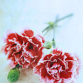 Carnations by Stephanie Frey