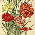 Carnations Print by Philip Ralley