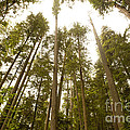 Cathedral Forest by Artist and Photographer Laura Wrede