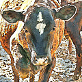 Cattle Round Up by Artist and Photographer Laura Wrede