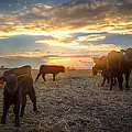 Cattle Sunset 2 by Thomas Zimmerman