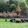 Cattles At Fernandez Ranch California - 5d21071 by Wingsdomain Art and Photography