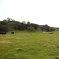 Cattles At Fernandez Ranch California - 5d21124 by Wingsdomain Art and Photography