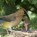 Cedar Waxwings by Linda Freshwaters Arndt
