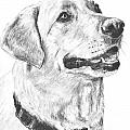 Charcoal Drawing Yellow Lab In Profile by Kate Sumners