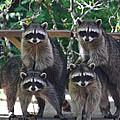 Cheerleading Raccoons by Kym Backland