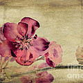 Cherry Blossom With Textures by John Edwards