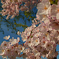 Cherry Blossoms 2013 - 035 by Metro DC Photography