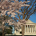 Cherry Blossoms 2013 - 048 by Metro DC Photography