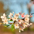 Cherry Blossoms 2013 - 073 by Metro DC Photography