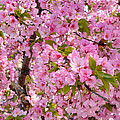 Cherry Blossoms 2013 - 097 by Metro DC Photography